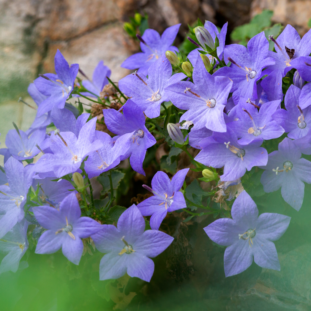 Flora Finalese